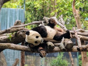 San Diego Bids Farewell to Pandas